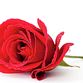 Red Rose by Andrew Dernie