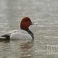 Redhead Duck In Winter Snow Storm by Inspired Nature Photography Fine Art Photography