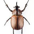 Rhinoceros Beetle by Lawrence Lawry