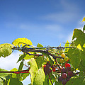 Ripening On The Vines by Steven Ainsworth