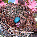 Robin bird - nest and egg