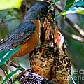Robin Feeding Young 2 by Terry Elniski