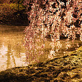Romance - Sunlight Through Cherry Blossoms by Vivienne Gucwa