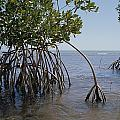 Root Legs Of Red Mangroves Extend by Medford Taylor