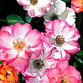 Rose 133 by Pamela Cooper