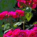 Rose 135 by Pamela Cooper