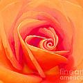 Rose Micro 1