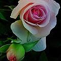 Rose of My Rose