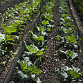 Rows Of Cabbage by Anne Gilbert