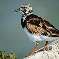 Ruddy Turnstone by Lynda Dawson-Youngclaus