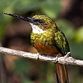 Rufous-tailed Jacamar Male by Tony Camacho