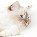 Sacred Cat Of Burma by Melanie Viola