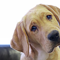 Sad Looking Yellow Lab With Head Tilted On Chair by Back in the Pack dog portraits