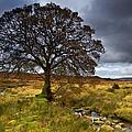 Sally Gap Tree