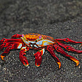 Sally Lightfoot Crab by Tony Beck