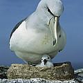 Salvins Albatross Thalassarche Salvini by Tui De Roy