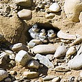 Sand Martins by Duncan Shaw