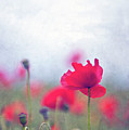 Scarlet Poppies In Painterly Style by Image by Catherine MacBride