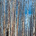 Scarred Pines Yellowstone Print by Steve Gadomski