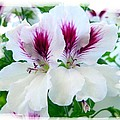 Scented Geraniums 2 by Will Borden