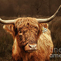 Scottish Moo Coo - Scottish Highland Cattle by Christine Till