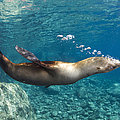 Sea Lion Blowing Bubbles, Los Islotes by Todd Winner