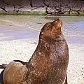 Sea Lion  On Genovesa Island by Thomas R Fletcher