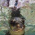 Sea Lion Portrait, Los Islotes, La Paz by Todd Winner