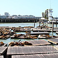 Sea Lions At Pier 39 San Francisco California . 7d14309 by Wingsdomain Art and Photography