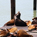 Sea Lions At Pier 39 San Francisco California . 7d14314 by Wingsdomain Art and Photography