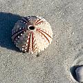 Sea Urchin And Shell by Kenneth Albin