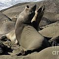 Seal Duet Print by Bob Christopher