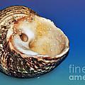Seashell Wall Art 2 by Kaye Menner