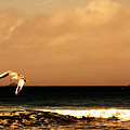 Sennen Seagull by Linsey Williams