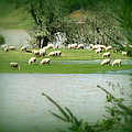 Sheep Grazing Amidst Flood by Cindy Wright