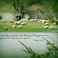 Sheep Grazing Scripture by Cindy Wright