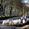 Sheep On The Road, Torr Head, Co by The Irish Image Collection
