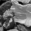 Shells Vi by David Rucker