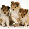 Sheltie Puppies by Jane Burton
