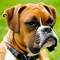 Sidney The Boxer by Chris Thaxter