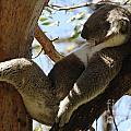 Sleeping Koala by Bob Christopher