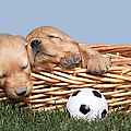 Sleeping Puppies In Basket And Toy Ball by Cindy Singleton