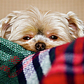 Sleepy Puppy In Blanket by Gregory Ferguson