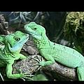 Small Iguanas Stirnlappenba by Rolf Bach