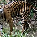 Snarling Tiger by Brendan Reals