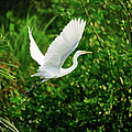 Snowy Egret Bird by Shahnewaz Karim