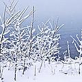 Snowy Trees by Elena Elisseeva