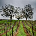 Sonoma County Vineyard by Joan McDaniel
