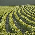 Soybean Crop Ready To Harvest by Brian Gordon Green