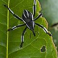Spider Weevil Papua New Guinea by Piotr Naskrecki